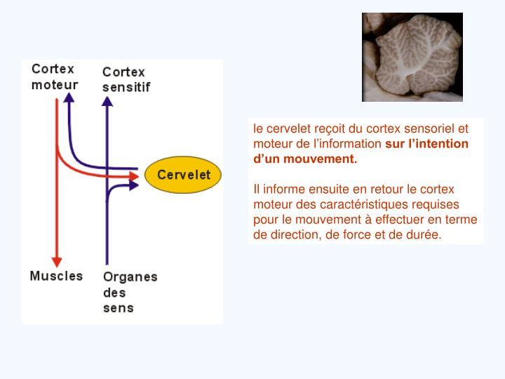 le cervelet reçoit du cortex sensoriel et moteur de l'information