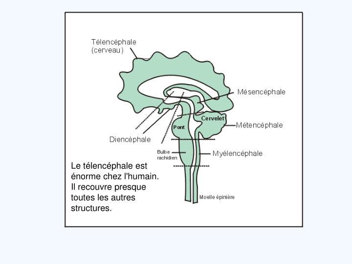 Le télencéphale est énorme chez l'humain. Il recouvre presque toutes les autres structures.