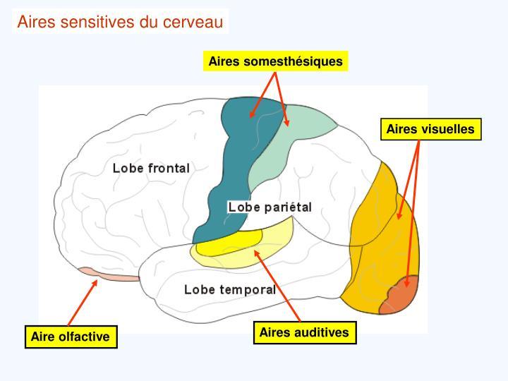 Aires sensitives du cerveau