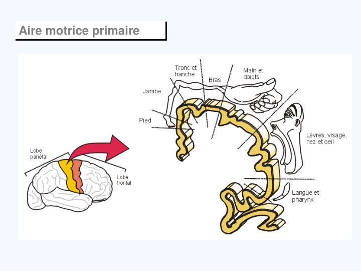 Aire motrice primaire