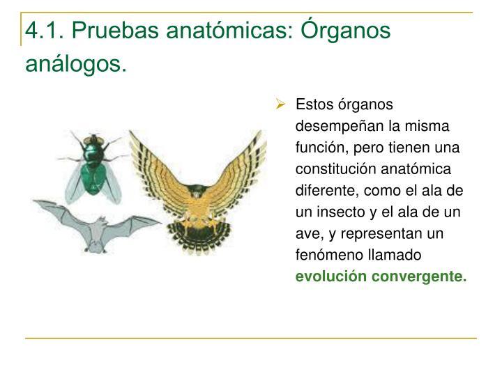 4.1. Pruebas anatómicas: Órganos análogos.