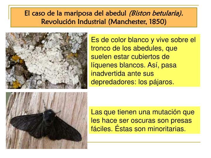 El caso de la mariposa del abedul