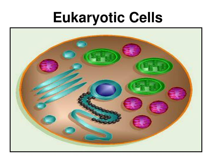 Eukaryotic cells