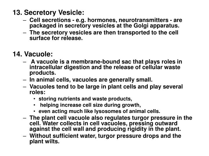 13. Secretory Vesicle: