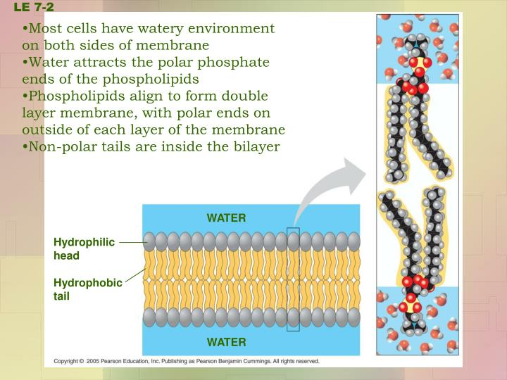 Most cells have watery environment   on both sides of membrane