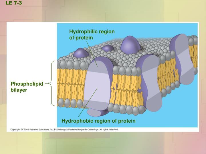 Hydrophilic region