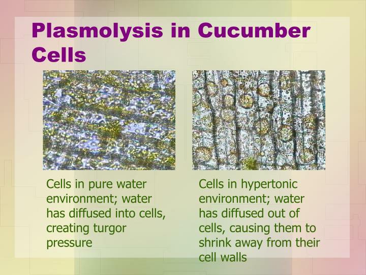 Plasmolysis in Cucumber Cells