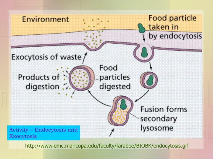Activity – Endocytosis and Exocytosis