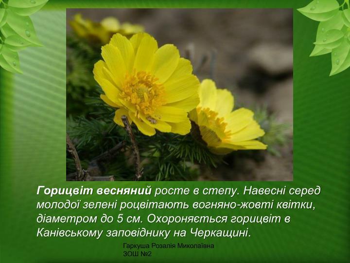 Горицвіт