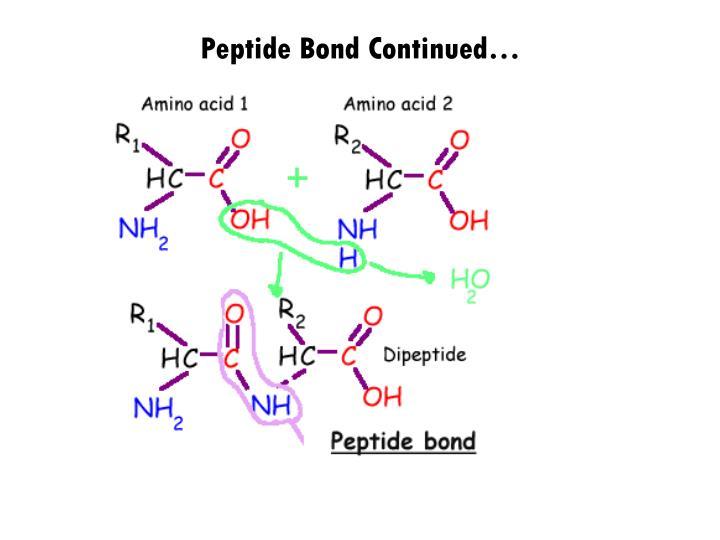 Peptide Bond Continued…