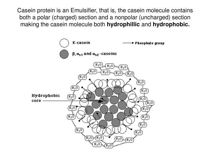 Casein protein is an Emulsifier, that is, the casein molecule contains both a polar (charged) section and a nonpolar (uncharged) section making the casein molecule both