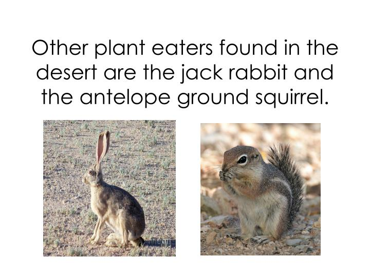 Other plant eaters found in the desert are the jack rabbit and the antelope ground squirrel.