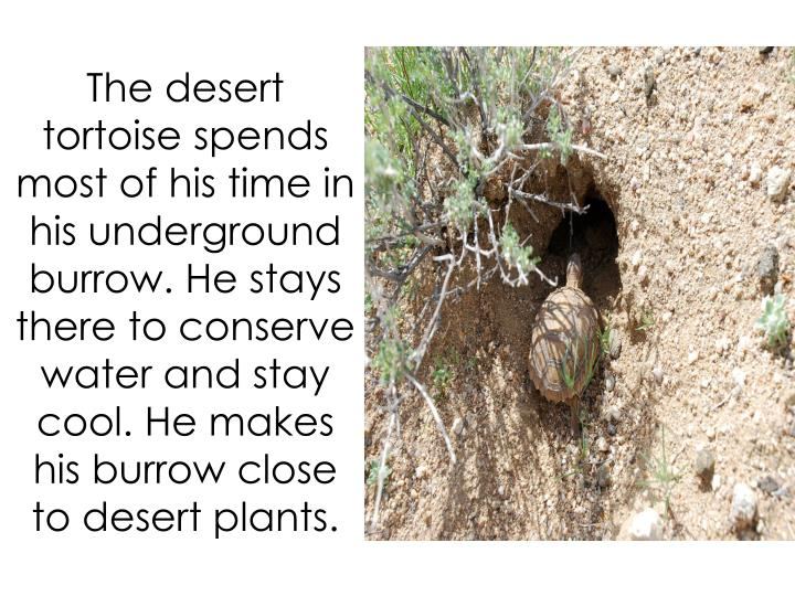 The desert tortoise spends most of his time in his underground burrow. He stays there to conserve water and stay cool. He makes his burrow close to desert plants.