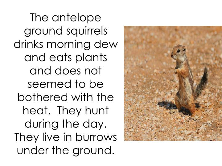 The antelope ground squirrels drinks morning dew and eats plants and does not seemed to be bothered with the heat.  They hunt during the day. They live in burrows under the ground.