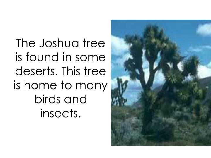 The Joshua tree is found in some deserts. This tree is home to many birds and insects.