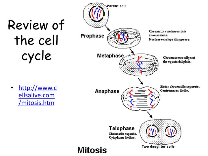 happy ultraviolet and mutated cell cycle Icals, ultraviolet light (uv)-induced base damage, plus single-  in cell-cycle progression (checkpoint activation)  product mutated in a-t and dna repair .