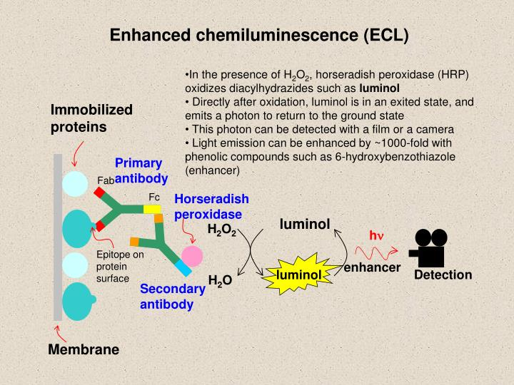 Enhanced chemiluminescence (ECL)