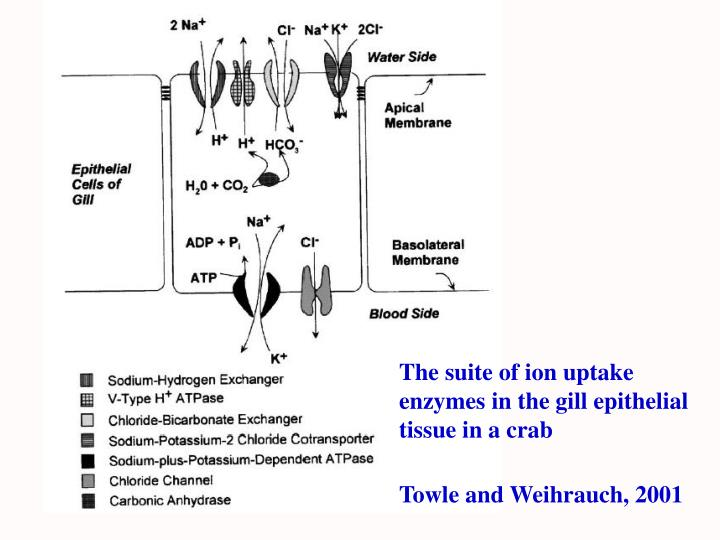 The suite of ion uptake enzymes in the gill epithelial tissue in a crab
