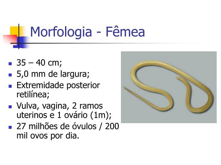 Morfologia - Fêmea