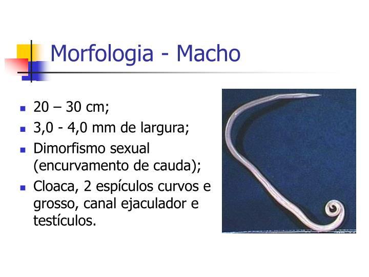 Morfologia - Macho