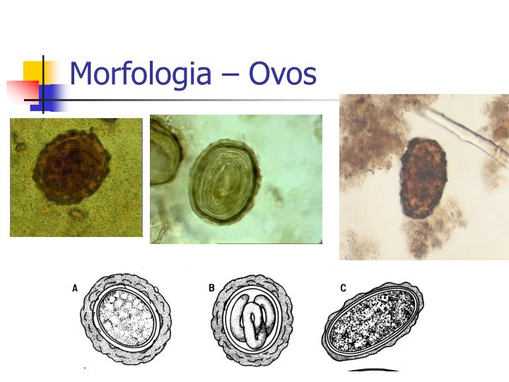 Morfologia – Ovos