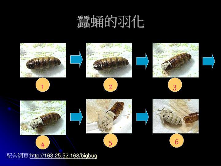 蠶蛹的羽化