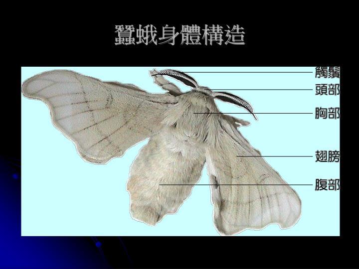蠶蛾身體構造