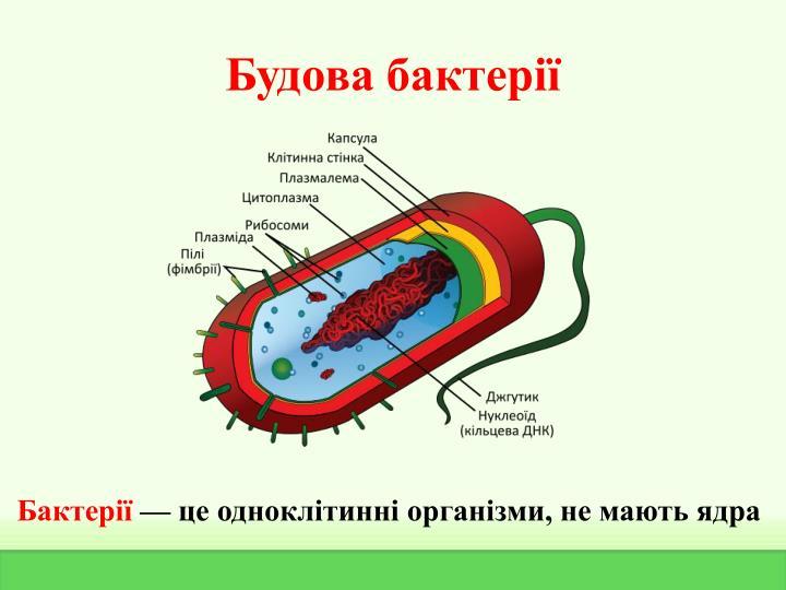 Будова бактерії
