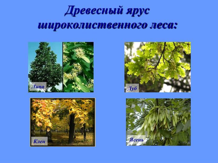 Древесный ярус широколиственного леса: