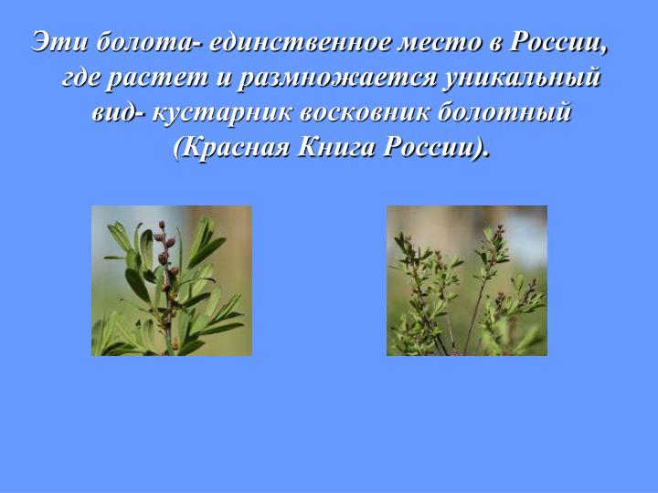 Эти болота- единственное место в России, где растет и размножается уникальный вид- кустарник восковник болотный (Красная Книга России).