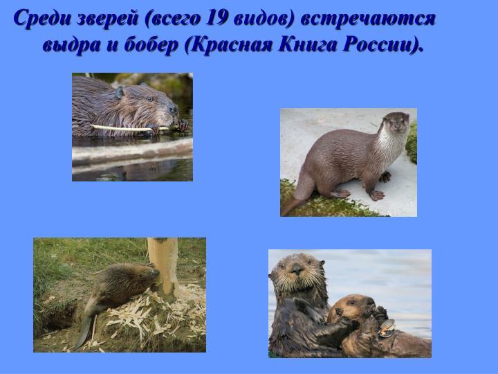 Среди зверей (всего 19 видов) встречаются выдра и бобер (Красная Книга России).