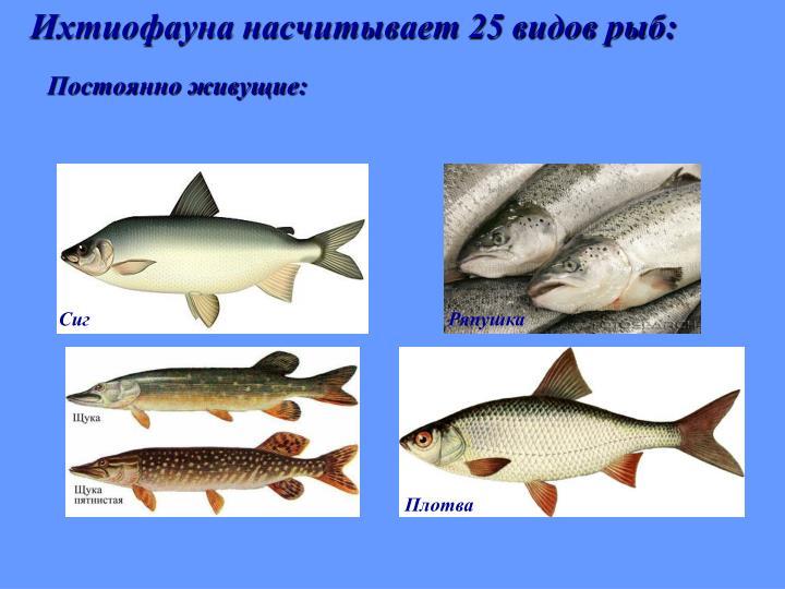 Ихтиофауна насчитывает 25 видов рыб: