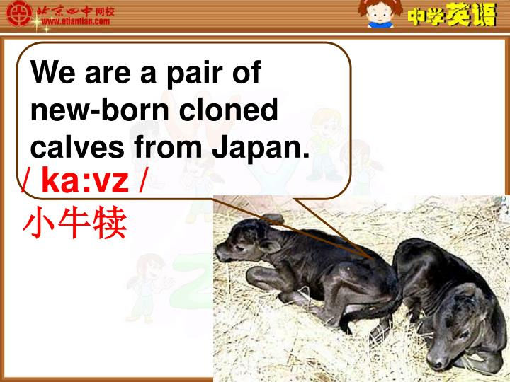We are a pair of new-born cloned calves from Japan.