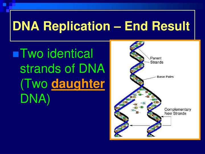 DNA Replication – End Result