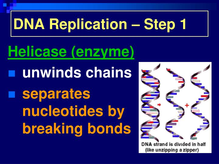 DNA Replication – Step 1