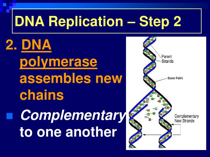 DNA Replication – Step 2