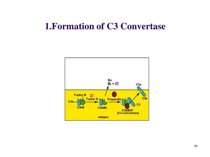 1.Formation of C3 Convertase