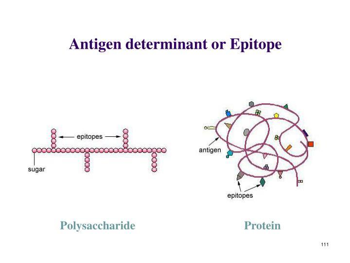 Antigen determinant or Epitope