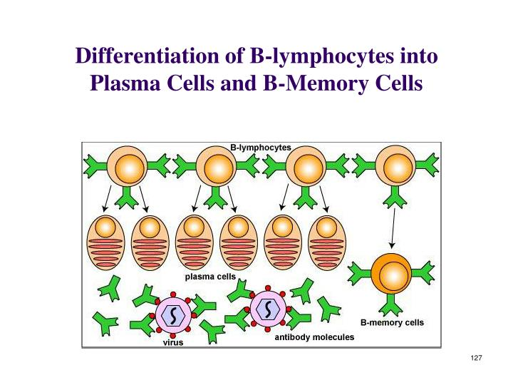 Differentiation of B-lymphocytes into Plasma Cells and B-Memory Cells