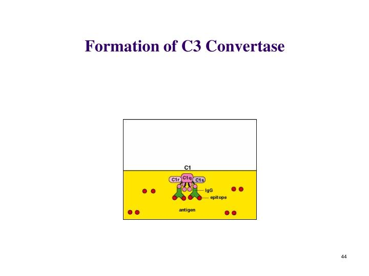 Formation of C3 Convertase