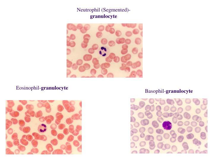 Eosinophil-