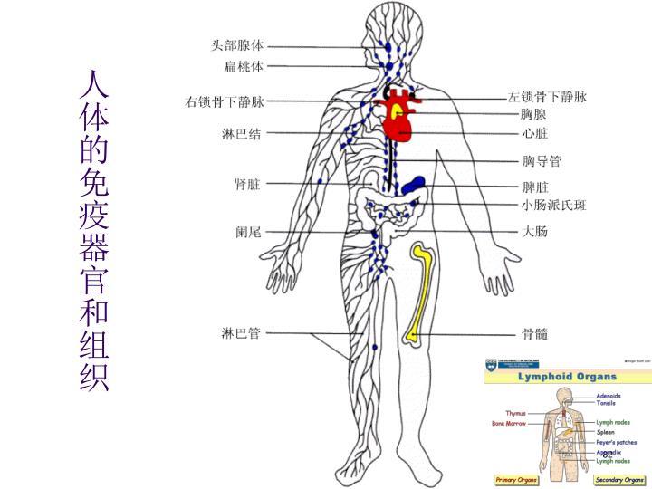 人体的免疫器官和组织
