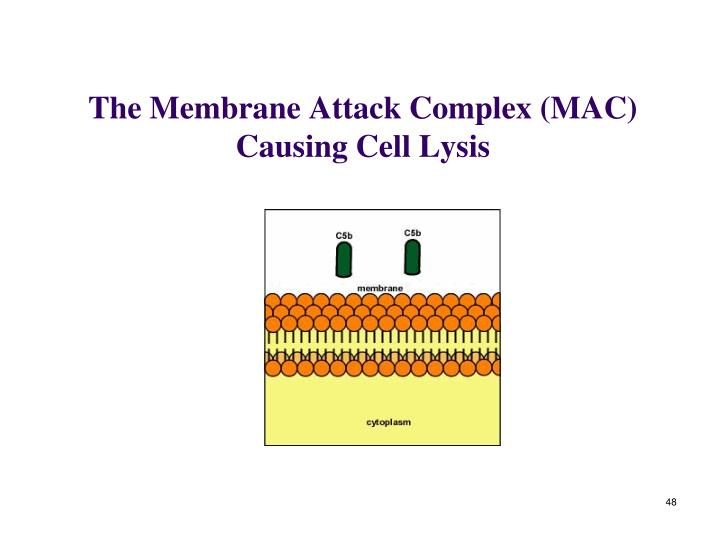 The Membrane Attack Complex (MAC) Causing Cell Lysis