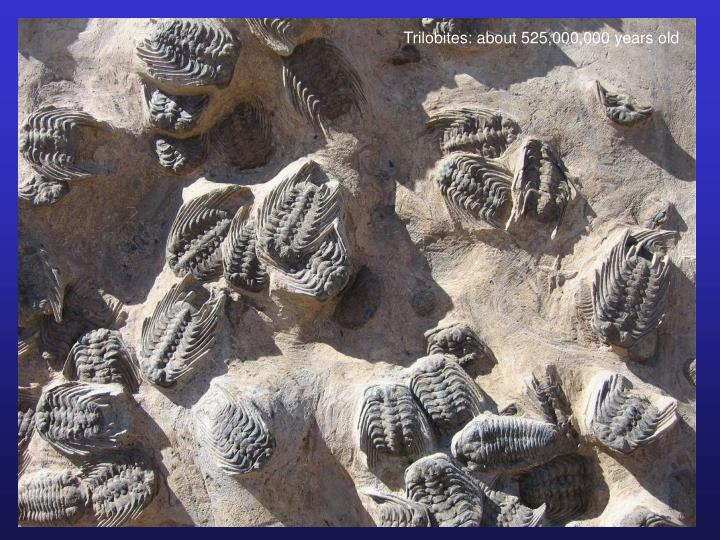Trilobites: about 525,000,000 years old