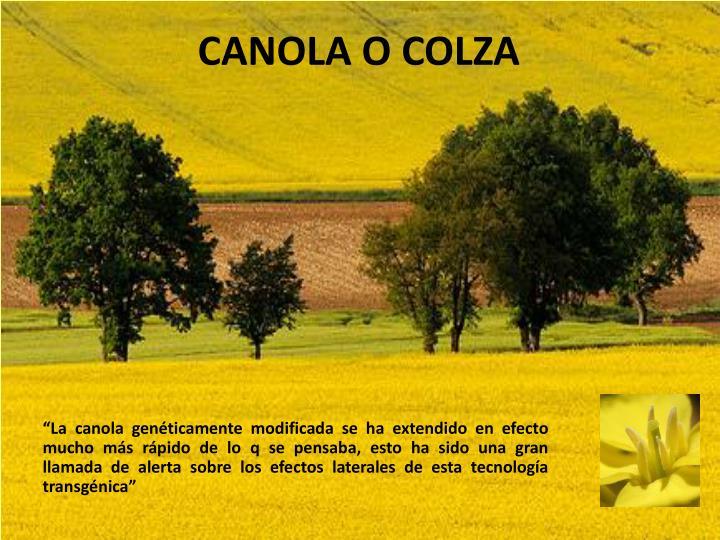 CANOLA O COLZA