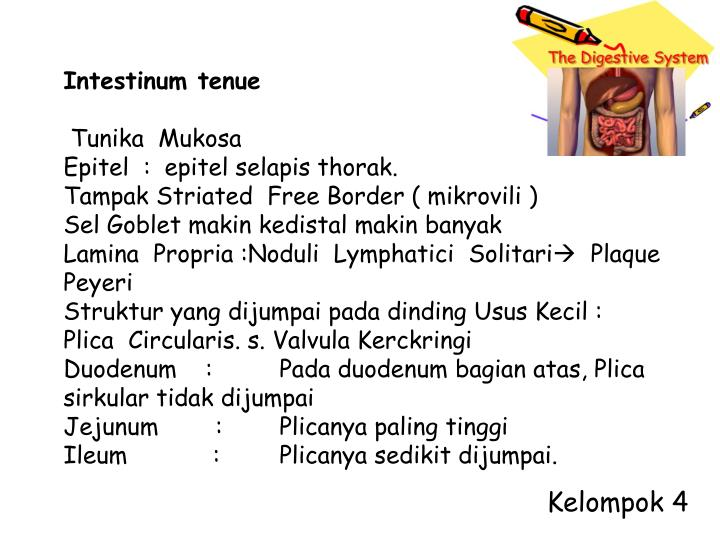 Intestinum tenue