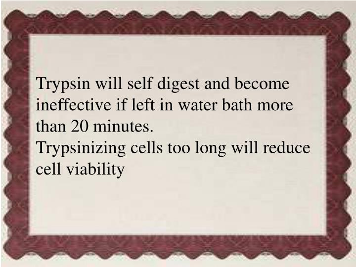 Trypsin will self digest and become ineffective if left in water bath more than 20 minutes.