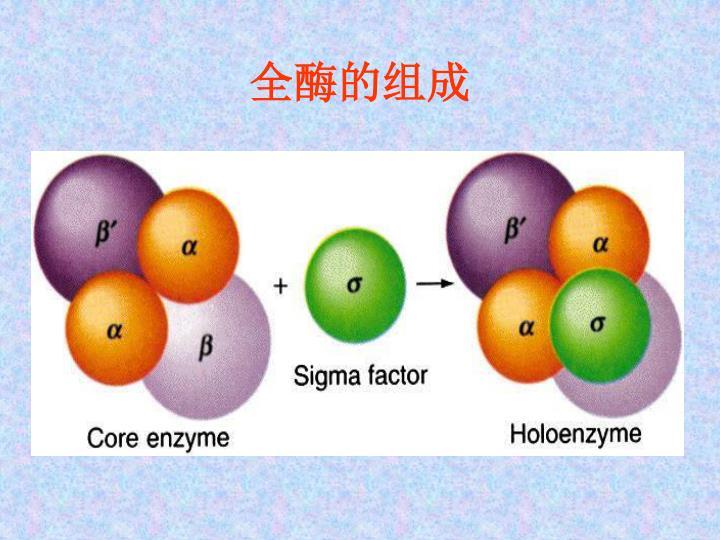 全酶的组成