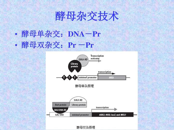 酵母杂交技术