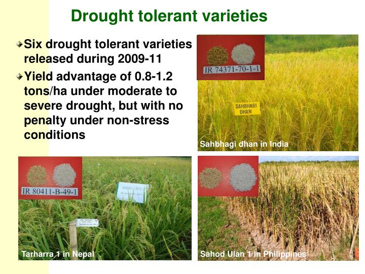 Drought tolerant varieties